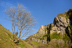 Whitebeam tree (Sorbus sp.) with leaves in bud, Cheddar Gorge, Mendip Hills, Somerset, UK, April. - Nick Upton