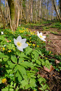 Wood anemones (Anemone nemorosa) and Lesser celandines (Ranunculus ficaria) flowering on woodland floor, SWT Black Rock Reserve, Cheddar Gorge, Mendip Hills, UK, April.  -  Nick Upton