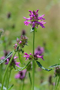 Betony (Stachys officinalis) flowering, Wiltshire, UK, July.  -  Nick Upton