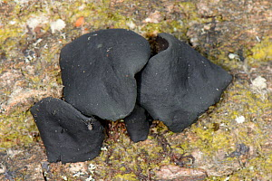 Black bulgar fungus (Bulgaria inquinans) growing from a rotting log in woodland, Gloucestershire, UK, October. - Nick Upton