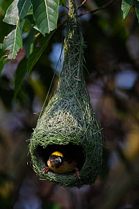 Black-breasted weaver (Ploceus benghalensis) sitting in nest,  Tongbiguan Nature Reserve, Dehong Prefecture, Yunnan province, China, May. - Staffan Widstrand / Wild Wonders of China