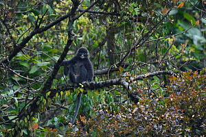 Phayre's leaf monkey (Trachypithecus phayrei) sitting in a tree at He Xin Chang Forest Reserve, Dehong Prefecture, Yunnan Province, China, April.  -  Staffan Widstrand / Wild Wonders of China