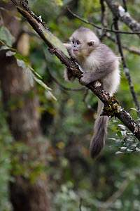 Young Yunnan snub-nosed monkey (Rhinopithecus bieti) juvenile  in  tree, Ta Cheng Nature reserve, Yunnan, China, October. - Staffan Widstrand / Wild Wonders of China