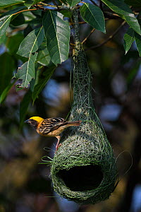 Black-breasted weaver (Ploceus benghalensis) perched on its nest in Tongbiguan Nature Reserve, Dehong prefecture, Yunnan province, China, May. - Staffan Widstrand / Wild Wonders of China