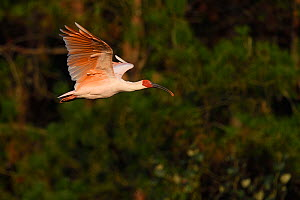 Crested ibis (Nipponia nippon) flying in evening light, Yangxian Nature Reserve, Shaanxi, China. Endangered species.  September  -  Staffan Widstrand / Wild Wonders of China