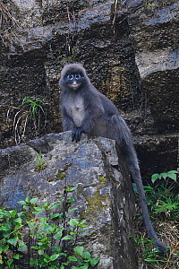 Phayre's leaf monkey (Trachypithecus phayrei) sitting on a rock, He Xin Chang Forest reserve, Dehong Prefecture, Yunnan Province, China. May  -  Staffan Widstrand / Wild Wonders of China