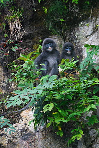 Phayre's leaf monkey  (Trachypithecus phayrei) mother and baby, He Xin Chang Forest reserve, Dehong Prefecture, Yunnan Province, China, May.  -  Staffan Widstrand / Wild Wonders of China