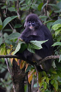 Phayre's leaf monkey (Trachypithecus phayrei) siiting on a tree at He Xin Chang Forest reserve, Dehong Prefecture, Yunnan Province, China, May.  -  Staffan Widstrand / Wild Wonders of China