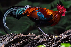Red jungle fowl (Gallus gallus) Tongbiguan Nature Reserve, Dehong Prefecture, Yunnan Province, China, April. - Staffan Widstrand / Wild Wonders of China