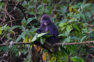 Phayre's leaf monkey (Trachypithecus phayrei) siiting on a tree at He Xin Chang Forest reserve, Dehong Prefecture, Yunnan Province, China. May  -  Staffan Widstrand / Wild Wonders of China