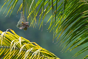 Baya weaver (Ploceus philippinus) on its nest in Tongbiguan Nature Reserve, Dehong prefecture, Yunnan province, China, May. - Staffan Widstrand / Wild Wonders of China