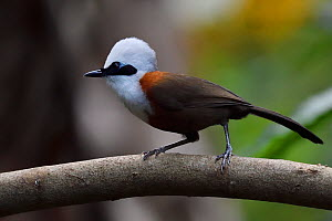 White-crested laughing thrush (Garrulax leucolophus) bird perched on branch, Tongbiguan Nature Reserve, Dehong Prefecture, Yunnan Province, China, April.  -  Staffan Widstrand / Wild Wonders of China