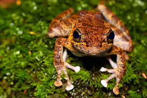 Tree frog (Amolops afghanus) female sitting on moss  Tongbiguan Nature Reserve, Dehong prefecture, Yunnan province, China, May. - Staffan Widstrand / Wild Wonders of China