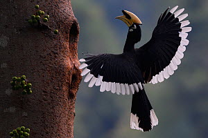 Oriental Pied hornbill (Anthracoceros albirostris) male landing at nest hole, Tongbiguan Nature Reserve, Dehong Prefecture, Yunnan Province, China, April. - Staffan Widstrand / Wild Wonders of China