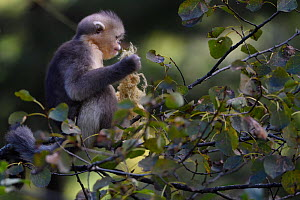 Yunnan snub-nosed monkey (Rhinopithecus bieti) young feeding on lichen in  tree at Ta Cheng Nature Reserve, Yunnan, China, October. - Staffan Widstrand / Wild Wonders of China