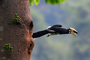 Oriental pied hornbill (Anthracoceros albirostris) taking off from nest hole, Tongbiguan Nature Reserve, Dehong Prefecture, Yunnan Province, China. April - Staffan Widstrand / Wild Wonders of China