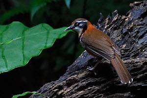 Lesser necklaced laughing thrush (Garrulax monileger) perched in Tongbiguan Nature Reserve, Dehong Prefecture, Yunnan Province, China, April.  -  Staffan Widstrand / Wild Wonders of China
