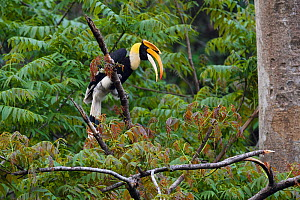 Great hornbill (Buceros bicornis) perched on a branch in Tongbiguan Nature Reserve, Dehong Prefecture, Yunnan Province, China, April. - Staffan Widstrand / Wild Wonders of China