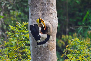 Great hornbill (Buceros bicornis) male with berries outside nest hole, Tongbiguan Nature Reserve, Dehong Prefecture, Yunnan Province, China. April - Staffan Widstrand / Wild Wonders of China