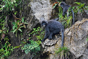 Phayre's leaf monkey (Trachypithecus phayrei) He Xin Chang Forest Reserve, Dehong Prefecture, Yunnan Province, China. May  -  Staffan Widstrand / Wild Wonders of China