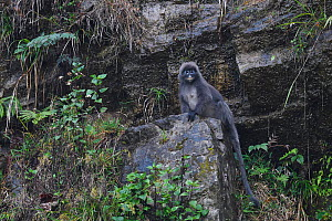 Phayre's leaf monkey  (Trachypithecus phayrei) sitting on a rock, He Xin Chang Forest Reserve, Dehong Prefecture, Yunnan Province, China, May 2017.  -  Staffan Widstrand / Wild Wonders of China