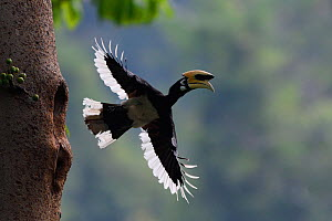 Oriental pied hornbill (Anthracoceros albirostris) male taking off from nest hole, Tongbiguan Nature Reserve, Dehong Prefecture, Yunnan Province, China. April - Staffan Widstrand / Wild Wonders of China