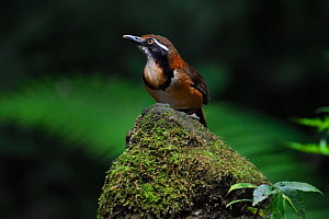 Lesser necklaced laughing thrush bird (Garrulax monileger) perched in Tongbiguan Nature Reserve, Dehong Prefecture, Yunnan Province, China, April.  -  Staffan Widstrand / Wild Wonders of China