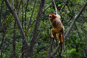 Sichuan golden snub-nosed monkey (Rhinopithecus roxellana)  screaming to  show authority, climbing on trees in Yangxian Nature Reserve, Shaanxi, China. September. - Staffan Widstrand / Wild Wonders of China