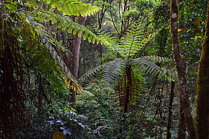 Tree ferns, Cyatheales, and other trees and vegetation in the montane rainforest, Tongbiguan Nature Reserve, Dehong Prefecture, Yunnan province, China. May  -  Staffan Widstrand / Wild Wonders of China