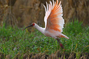 Crested ibis (Nipponia nippon) flying, Yangxian Nature Reserve, Shaanxi, China, September. - Staffan Widstrand / Wild Wonders of China