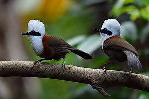 White-crested laughing thrush (Garrulax leucolophus) perched on a branch at Tongbiguan Nature Reserve, Dehong Prefecture, Yunnan Province, China, April.  -  Staffan Widstrand / Wild Wonders of China