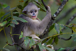 Yunnan snub-nosed monkey (Rhinopithecus bieti) young / juvenile  in tree in Ta Cheng Nature Reserve, Yunnan, China, October. - Staffan Widstrand / Wild Wonders of China