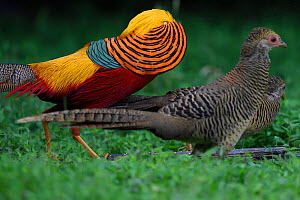 Golden pheasant (Chrysolophus pictus) displaying to female pheasants at Yangxian Nature Reserve, Shaanxi, China, September.  -  Staffan Widstrand / Wild Wonders of China