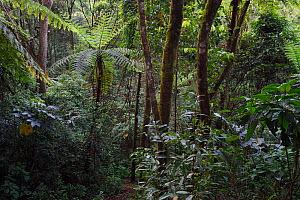 Tree ferns (Cyatheales) and other trees and vegetation in the montane rainforest, Tongbiguan Nature Reserve, Dehong Prefecture, Yunnan province, China, May.  -  Staffan Widstrand / Wild Wonders of China