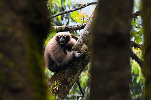 Skywalker gibbon monkey (Hoolock tianxing) female sitting in a tree at Tongbiguan Nature Reserve, Dehong Prefecture, Yunnan province, China, May.  -  Staffan Widstrand / Wild Wonders of China