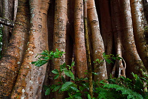 1000 year old grove of Banyan fig trees (Ficus benghalensis) Tongbiguan Nature Reserve, Dehong Prefecture, Yunnan province, China, May 2017. - Staffan Widstrand / Wild Wonders of China