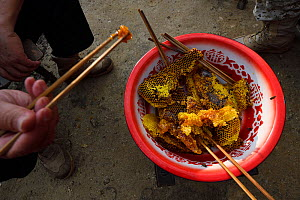 Honeycomb,  eaten  with wax, larvae and honey. He Xin Chang Forest Reserve, Dehong Prefecture, Yunnan Province, China, April. - Staffan Widstrand / Wild Wonders of China