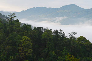 Low lying mist / fog over rainforest , morning in Sudian, Tongbiguan Nature Reserve, Dehong Prefecture, Yunnan province, China, May 2017. - Staffan Widstrand / Wild Wonders of China