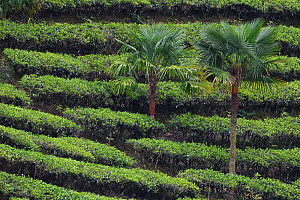 Palm trees growing in  tea plantation, He Xin Chang Forest Reserve, Dehong Prefecture, Yunnan Province, China, April. 2017. - Staffan Widstrand / Wild Wonders of China