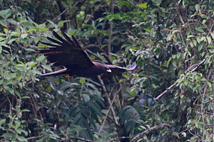 Black eagle (Ictinaetus malaiensis) in flight, He Xin Chang Forest Reserve, Dehong Prefecture, Yunnan Province, China, May.  -  Staffan Widstrand / Wild Wonders of China