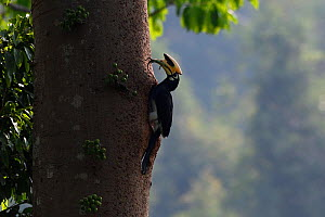 Oriental pied hornbill (Anthracoceros albirostris) feeding on a lizard at Tongbiguan Nature Reserve, Dehong Prefecture, Yunnan Province, China, April. - Staffan Widstrand / Wild Wonders of China