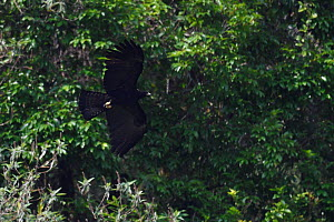 Black eagle (Ictinaetus malaiensis) flying, He Xin Chang Forest Reserve, Dehong Prefecture, Yunnan Province, China, April.  -  Staffan Widstrand / Wild Wonders of China