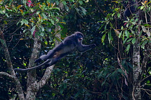 Phayre's leaf monkey (Trachypithecus phayrei) jumping from a tree at He Xin Chang Forest Reserve, Dehong Prefecture, Yunnan Province, China, April.  -  Staffan Widstrand / Wild Wonders of China