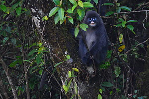 Phayre's leaf monkey (Trachypithecus phayrei) siiting in tree at He Xin Chang Forest Reserve, Dehong Prefecture, Yunnan Province, China, May.  -  Staffan Widstrand / Wild Wonders of China