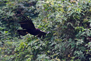Black eagle (Ictinaetus malaiensis) caught in flight at He Xin Chang Forest Reserve, Dehong Prefecture, Yunnan Province, China, May.  -  Staffan Widstrand / Wild Wonders of China