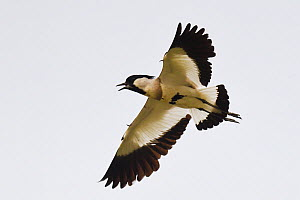 River lapwing (Vanellus duvaucelii) flying at Tongbiguan Nature Reserve, Dehong prefecture, Yunnan province, China, May.  -  Staffan Widstrand / Wild Wonders of China