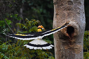 Great hornbill (Buceros bicornis) flying to nest hole,  Tongbiguan Nature Reserve, Dehong Prefecture, Yunnan Province, China, April. - Staffan Widstrand / Wild Wonders of China
