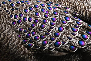 Grey peacock-pheasant (Polyplectron bicalcaratum) close up of the feathers, Tongbiguan Nature Reserve, Dehong Prefecture, Yunnan Province, China, April.  -  Staffan Widstrand / Wild Wonders of China