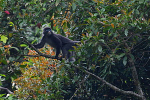 Phayre's leaf monkey (Trachypithecus phayrei) in a tree at He Xin Chang Forest Reserve, Dehong Prefecture, Yunnan Province, China, April.  -  Staffan Widstrand / Wild Wonders of China