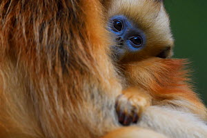 Sichuan golden snub-nosed monkey (Rhinopithecus roxellana) baby in arms of its mother at the Yangxian Nature Reserve, Shaanxi, China. September - Staffan Widstrand / Wild Wonders of China